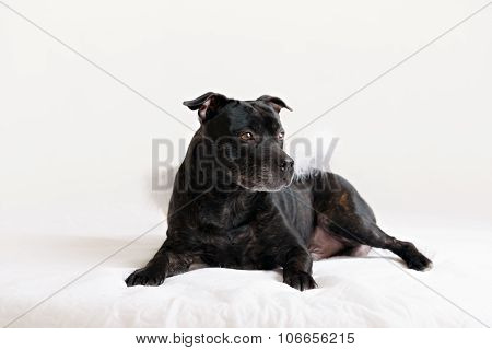 American Staffordshire Terrier head portrait