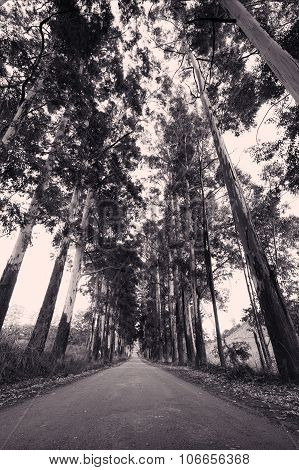 Narrow Lane Of Eucalyptus Trees On A Dirt Road In Artistic Conversion