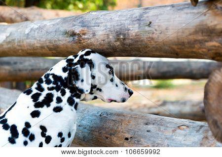 Dalmatian curiosity.
