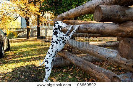 Dalmatian interesting.