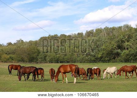 Mares And Foals Grazing Green Grass  On The Meadow Summertime