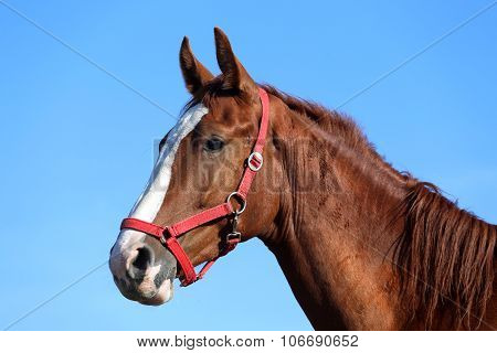 Purebred Young Horse Posing Against Blue Sky