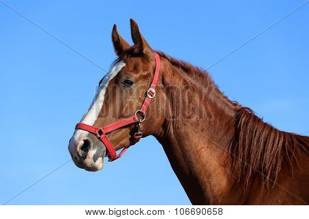 Side View Head Shot Of A Beautiful Young Chestnut Mare