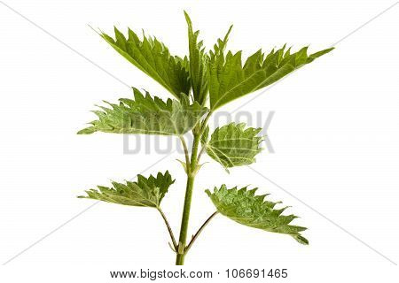 Fresh Stinging Nettle On A White Background