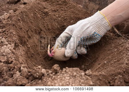 Gloved Hand Planting Potato Tuber Into The Ground
