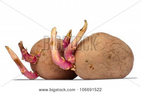 Germinating Potatoes On White