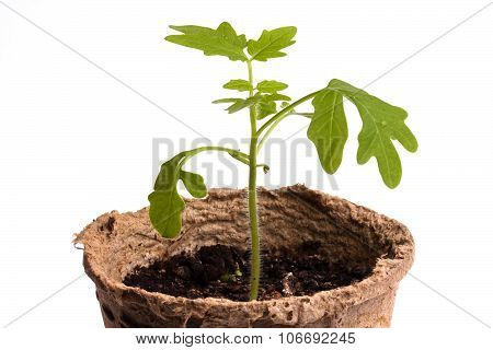 Seedling Of Tomatoes On White