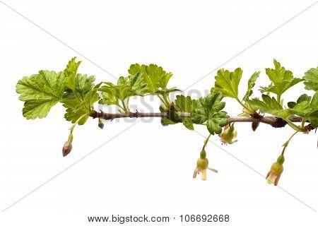 Flowering Branch Of Gooseberry On The White Background