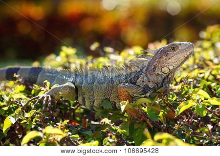 Close-up of a male Green Iguana in it's natural habitat