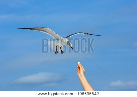 Flying seagull taking food from hand