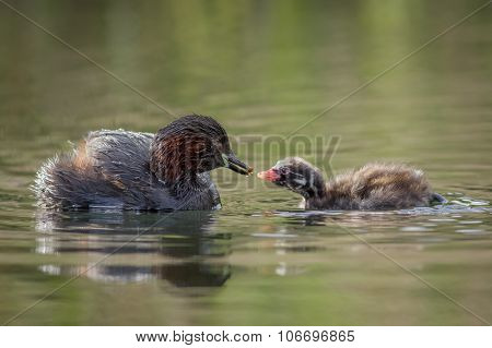 Little Grebe feeding young