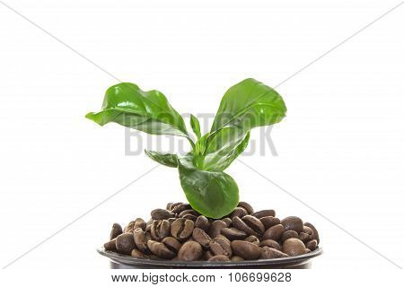 Young Green Sprout Of A Tree Growing Out Of The Coffee Beans Instead Of Ground In A Pot. Isolated