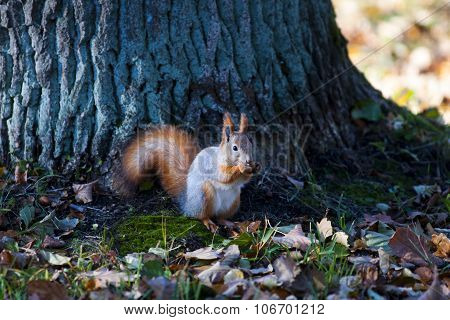 Squirrel gnaws nut, autumn foliage