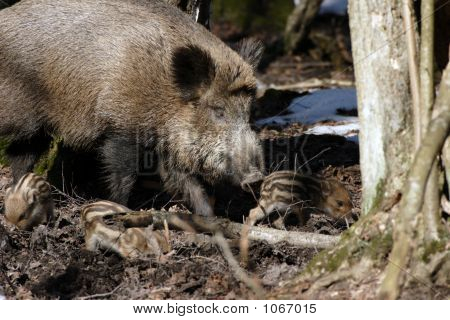 Young Wild Boar With Mother