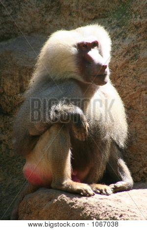 Baboon 105