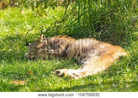 Lynx Sleeping In The Shade