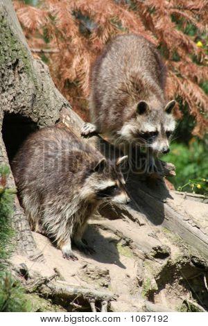 Raccoons 103