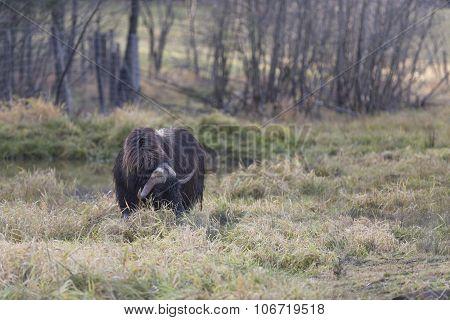 A grazing Musk Ox