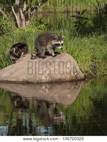 Raccoons on a Rock with Reflection