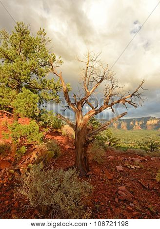 Cypress Tree At Airport Vortex In Sedona, Arizona
