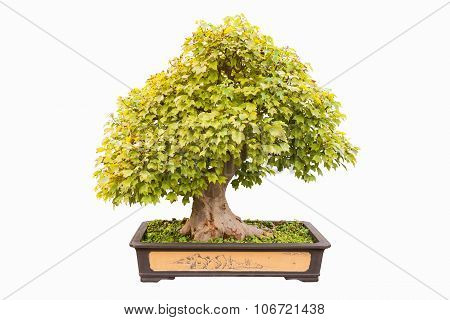 Trident Maple Bonsai