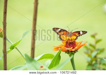 Butterfly eat the syrup on the flower.