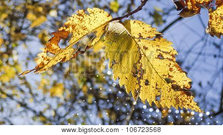 Decaying Yellow Elm Leaves with Light Circle Designs.