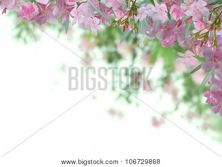 Pink oleander flower background