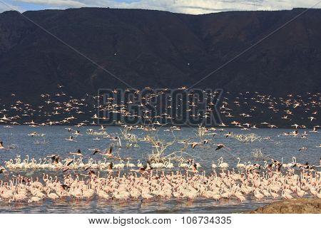 Flamingo flock, Lake Bogoria, Kenya