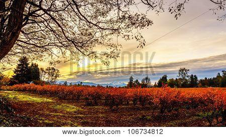 Sunrise over Mount Baker and Blueberry Fields