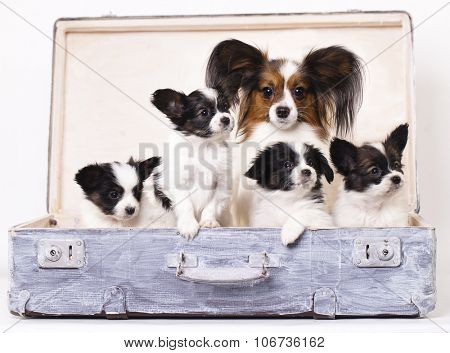 Papillon dogs mother and her puppies