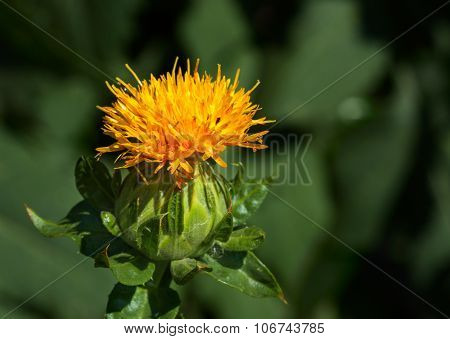 Blooming Safflower Head