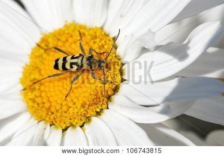 Long-horned Beetle On Flower