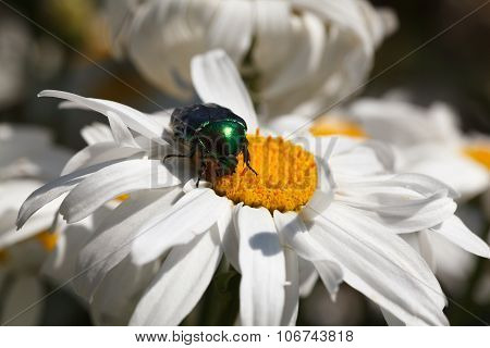Cockchafer Over Chamomile Flower