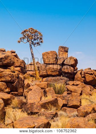 Quiver tree in namibian Giant's Playground