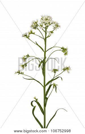 Flower Horseradish (armoracia P. Gaertn), Isolated On White Background