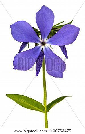 Flower Phlox, Isolated On White Background