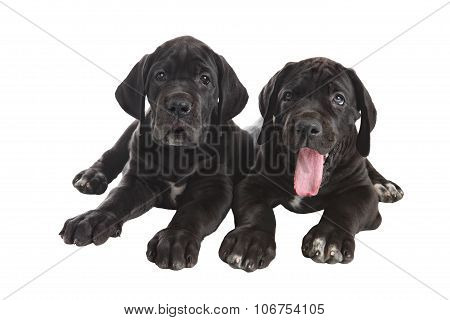 Two Black  Danish Hound Puppies, Studio Shot, Isolated On White.