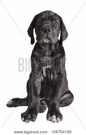 One Black German Mastiff  Puppy On White Background