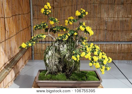 bonsai of chrysanthemum flowers