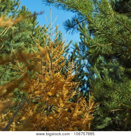 Yellow Larch In The Autumn Forest.