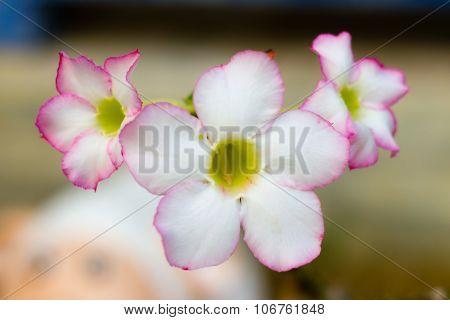 Desert Rose, Impala Lily, Mock Azalea, Beauty Flowers In White And Pink