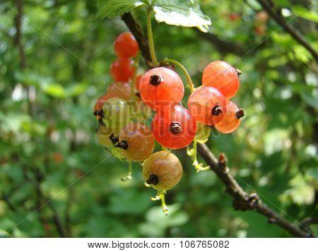 green redberry