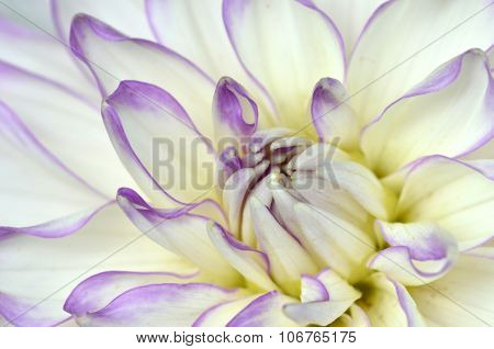 White And Purple Dahlia Close-up