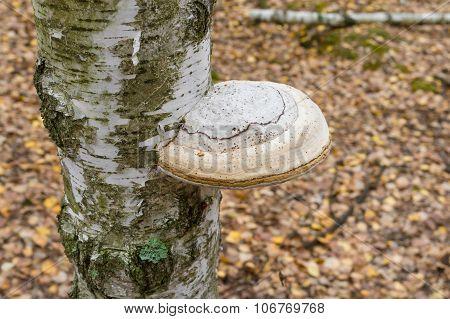 Tinder fungus on a birch tree