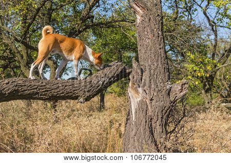 Wild Basenji strolling on a tree branch at sunny day