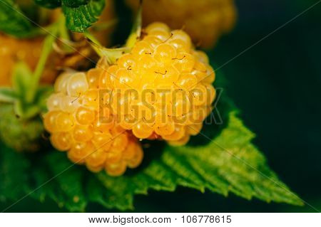 Raspberries. Growing Organic Berries Closeup. Ripe Raspberry In