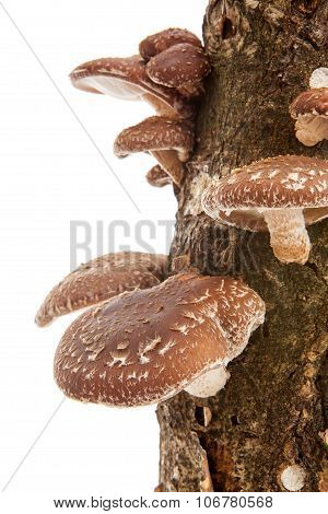 Tree Trunk With Shiitake Mushrooms