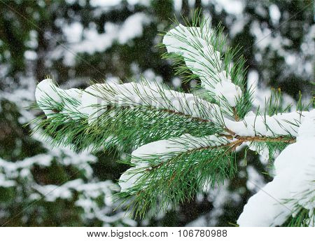 Pine Branch, Covered With Snow.