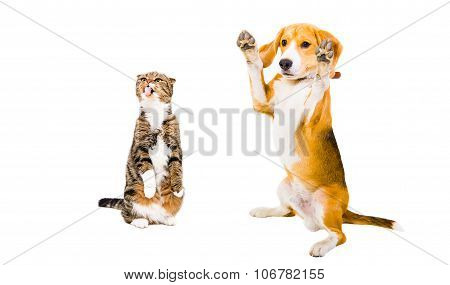 Beagle and cat Scottish Fold together